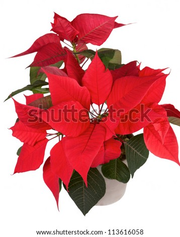 Red christmas flower poinsettia isolated white background - stock photo