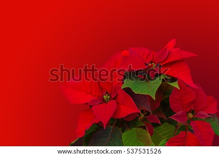Red Christmas Poinsettia Flower Star Symbol Stock Photo Royalty