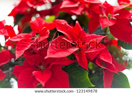 Red christmas star flowers. - stock photo