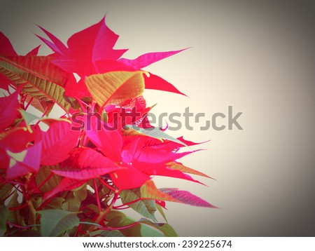 Red Christmas star Poinsettia Euphorbia pulcherrima flower - vibrant bright pop colours