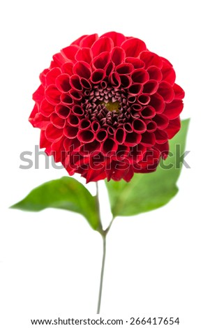 Red chrysanthemum Flower Isolated on White Background. Flower and beautiful petals. - stock photo