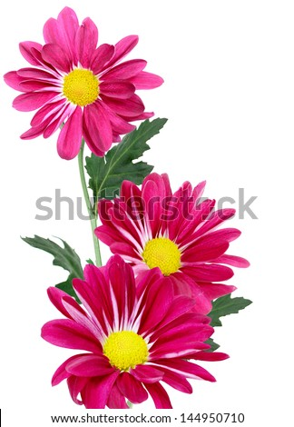 red chrysanthemum flowers isolated on white - stock photo