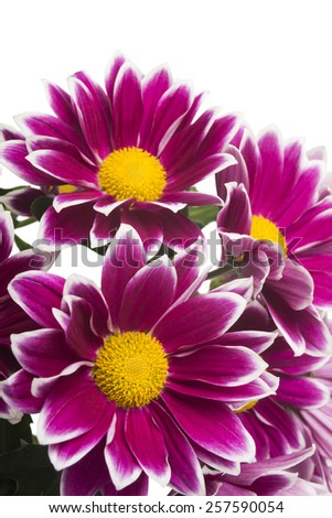 red chrysanthemum flowers isolated on white (selective focus) - stock photo