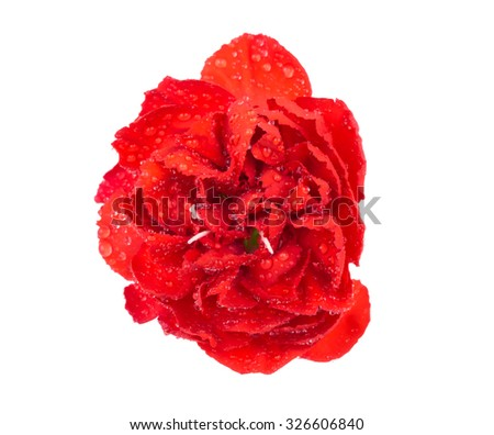 Red chrysanthemum flowers with water droplets isolated on white background