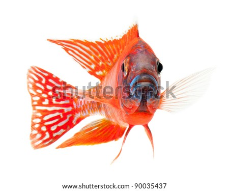 red cichlid fish, ruby red peacock fish, isolated on white background - stock photo