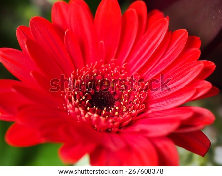 Red close-up single natural flowers - stock photo