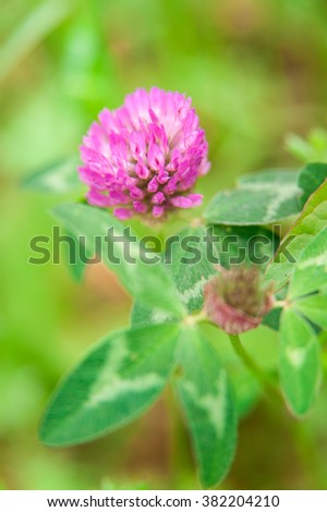 Red Clover Flower