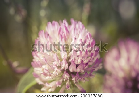 Red Clover flower macro with a background blur. - stock photo
