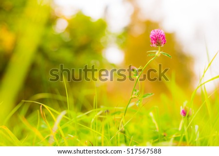 Red clover in the grass. Close up view from ground level