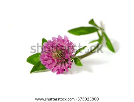 Red clover isolated on a white - stock photo