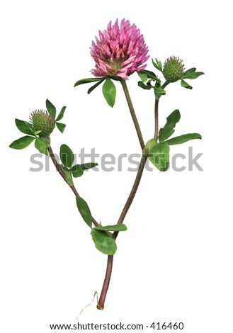 Red clover of the meadow