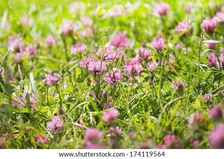 Red clover or Trifolium pratense flowers growing on field in summer - stock photo