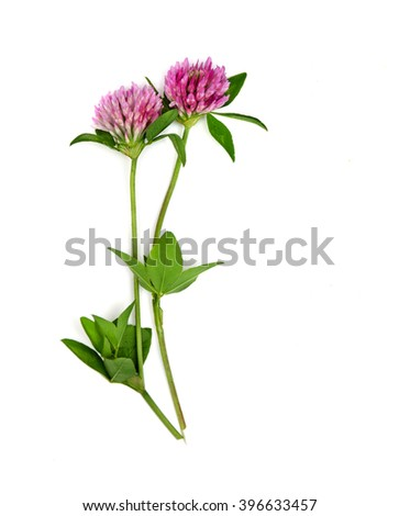 Red clovers isolated on a white