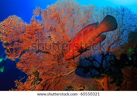 Red cod swiming around sea fan - stock photo