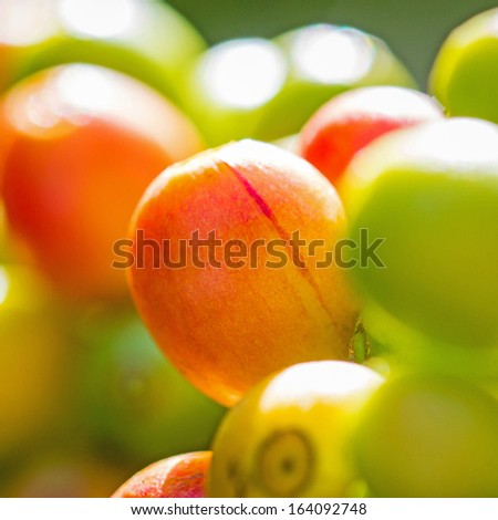 Red coffee beans on a branch of coffee tree - stock photo