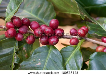 Red coffee beans on a branch of coffee tree.