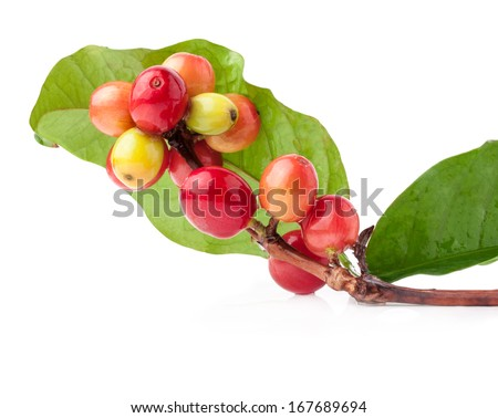 Red coffee beans on a branch of coffee tree, ripe and unripe berries isolated on white background - stock photo