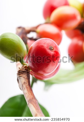 Red coffee beans on a branch of coffee tree, ripe and unripe berries isolated on white background (selective focus) - stock photo