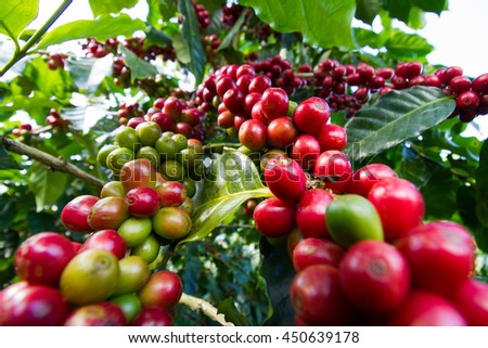 red coffee beans on a coffee tree - stock photo