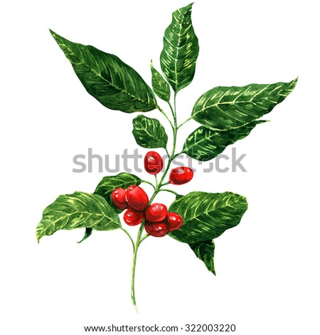 Red coffee beans on branch, watercolor painting, white background - stock photo