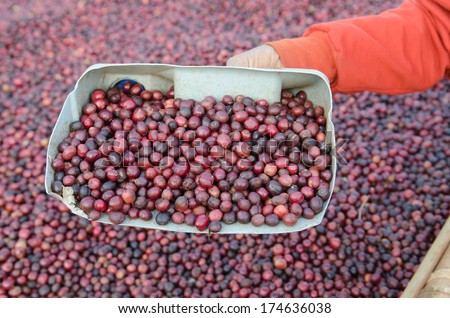 red coffee berries in plastic cup - stock photo