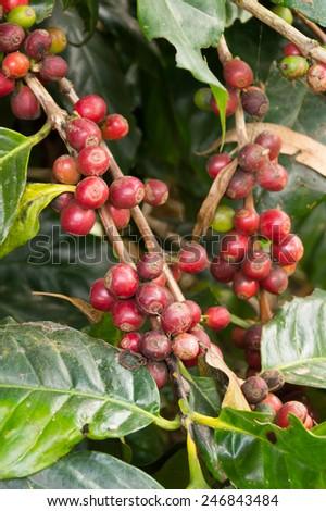 red coffee cherries hanging on tree - stock photo