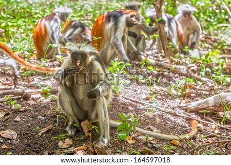 Red colobus (Piliocolobus kirki) monkeys searching for charcoal, Jozani forest, Zanzibar, Tanzania - stock photo