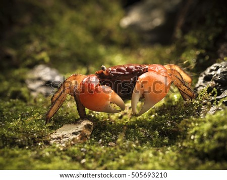 red color crab in mossy forest
