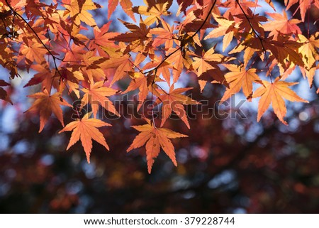 red color leaf fall autumn japan