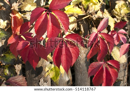 Red colored autumn leaves on old wooden weathered board wall as background