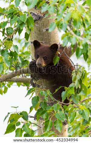 Red Colored Black Bear mother and baby cub climbing in a tree top in the summer time, Jasper National Park Alberta Canada