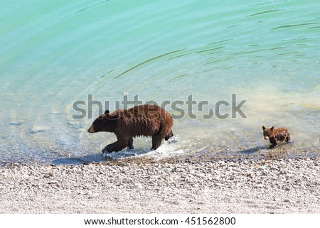 Red Colored Black Bear mother and baby cub playing in the lake on a hot summer day, Jasper National Park Alberta Canada