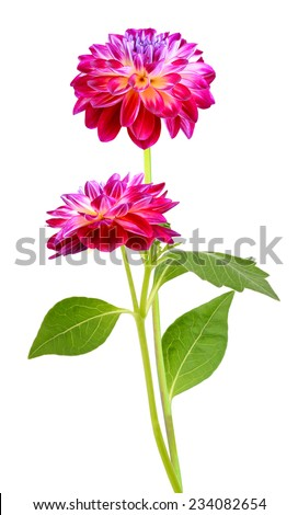 Red Colored Dahlia Bouquet Isolated on White Background