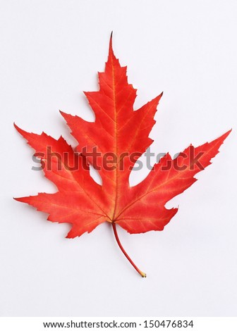 Red colorful autumn maple leaf on white background - stock photo