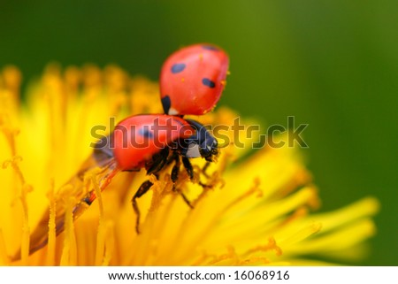 red colorful ladybug on yellow dandelion