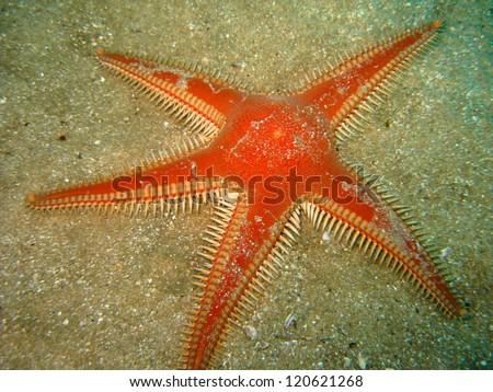 Red Comb Star (Astropecten aranciacus) - stock photo