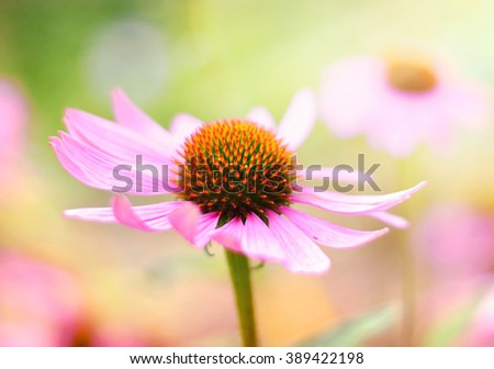 Red coneflowers or purple coneflowers in the sunlight. Sun and wild spring flowers with copy space. Summer wildflowers with smooth light and sunbeam. Golden light and pink flowers. - stock photo