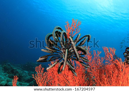 Red Coral and Featherstar in blue water