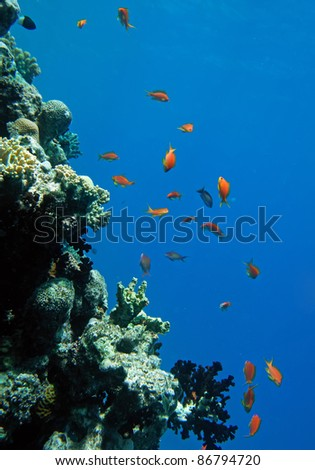 Red coral perch in the Red Sea natural environment