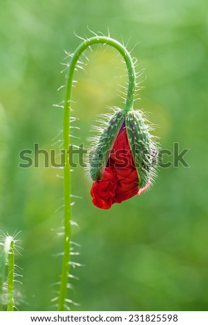 red corn poppy bud in a field of wheat - stock photo
