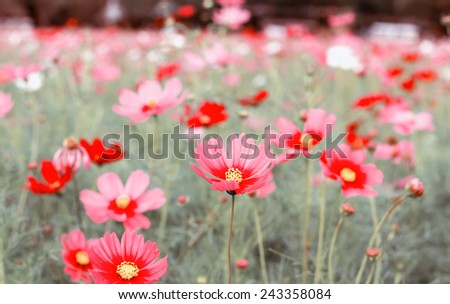 red cosmos vintage in farm thailand abstact background - stock photo