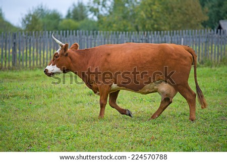 Red cow close up going on a pasture. - stock photo