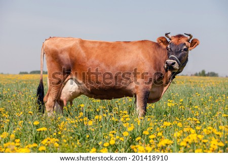 red cow in summer - stock photo