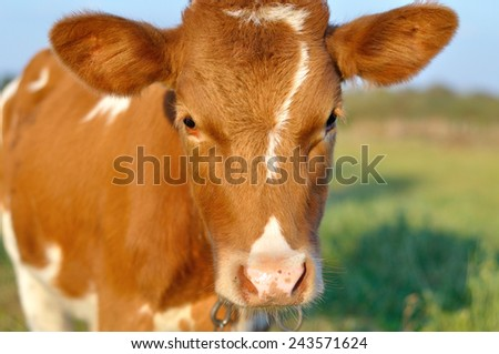 red cow looking - stock photo