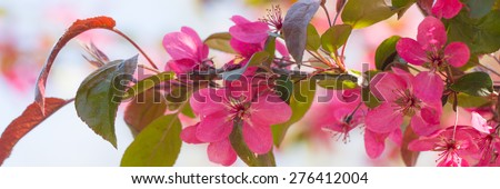 Red crab apple flowers banner - stock photo