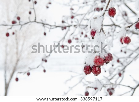 Red Crab Apples Fruit Still on Tree with Frost against White Snowy Background
