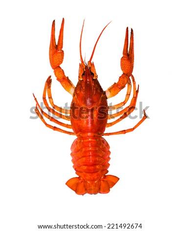 Red crayfish closeup isolated on white background - stock photo