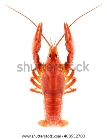 Red crayfish isolated on white - stock photo