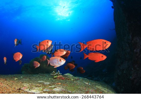 Red Crescent-tailed Bigeye fish - stock photo