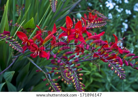 Red Crocosmia Lucifer in a garden.